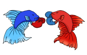 Betta fish fighting