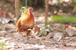 Chicken in a back yard