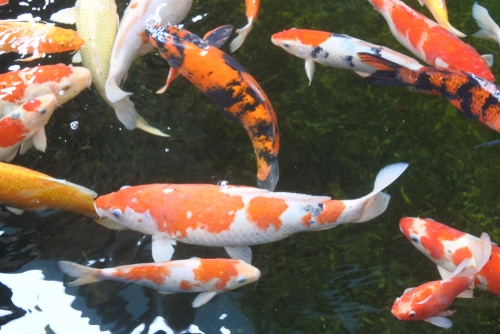 How to build a koi pond step by step niche pets for Building a koi pond step by step