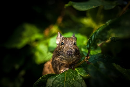 A degu in the wild