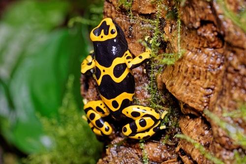 Yellow-banded dart frog