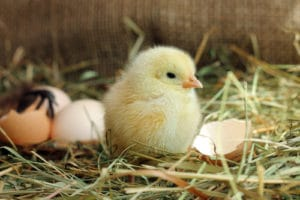 Chicken hatching