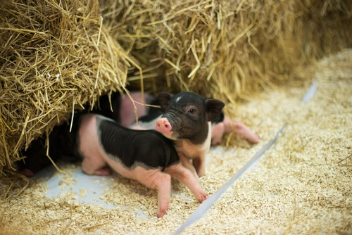 Micro pig care