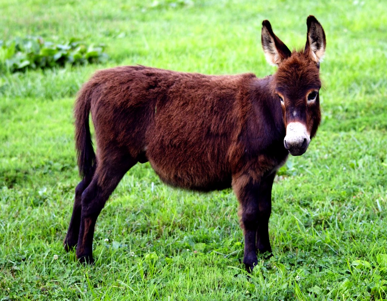 Is A Miniature Donkey The Perfect Pet For You Niche Pets