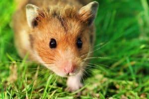 Pet Syrian Hamster