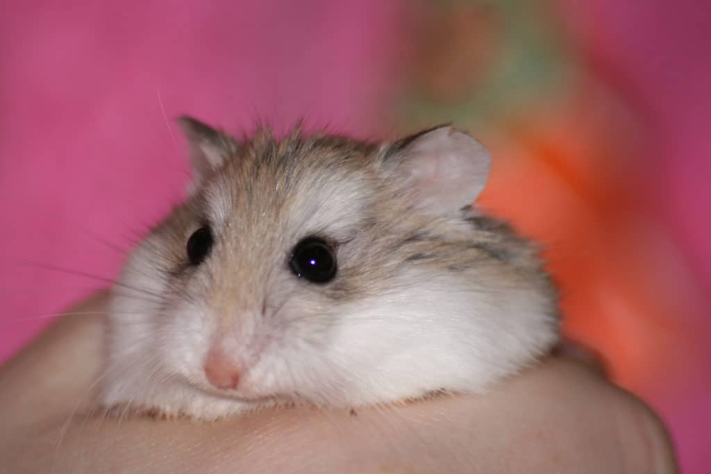 5 facts about dwarf hamsters that will make you want one ...