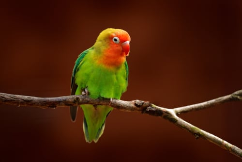 Keeping a pet lovebird