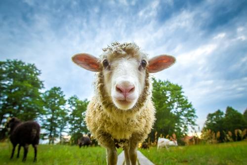 Keeping a pet sheep